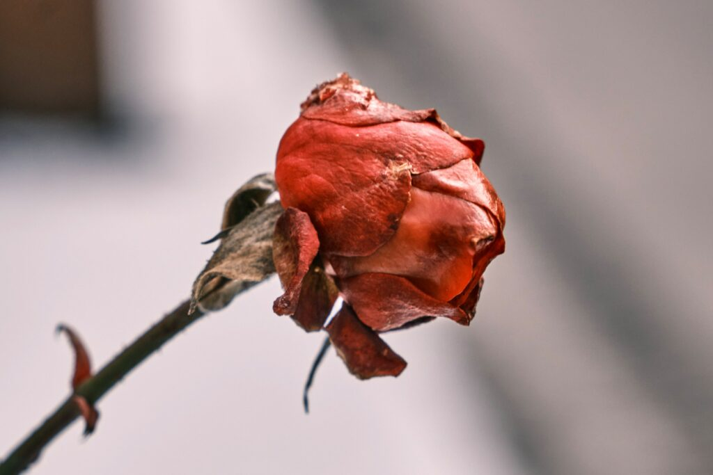 A wilted rose representing grief for Christians